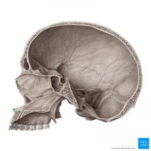 Anterior Nasal Spine   (ANS)