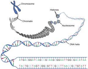 کروماتین (Chromatin)